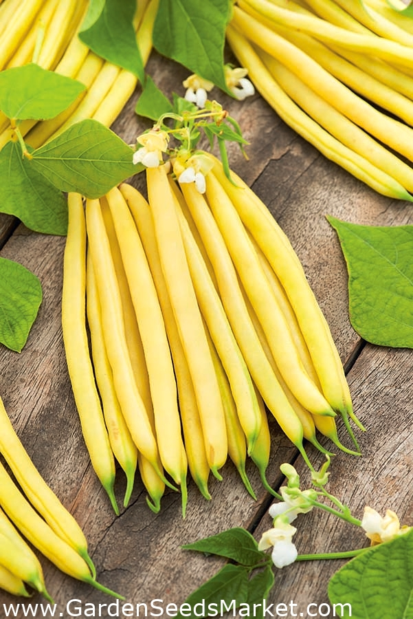 "yellow French bean /""Galopka/"" Dwarf 100 seeds"