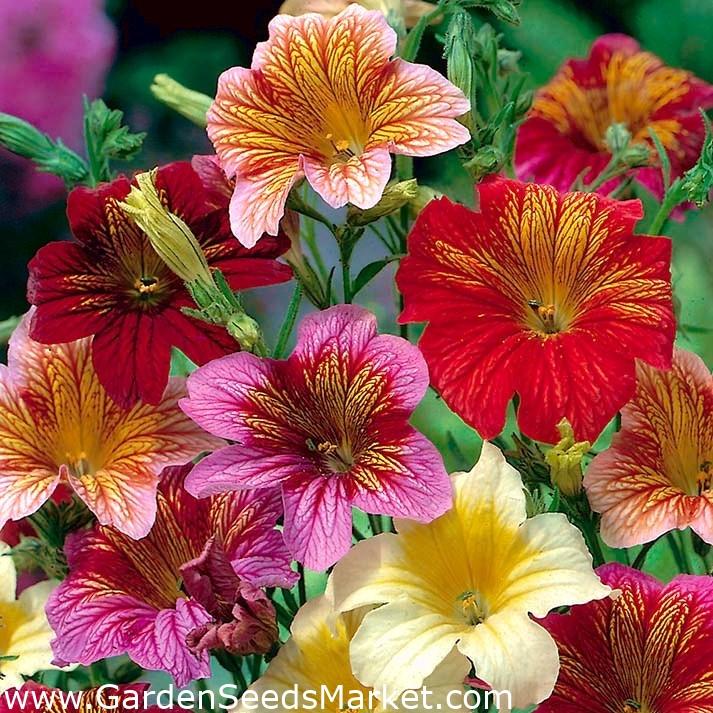 Lidah Dicat Bolero Campuran Berbagai Lidah Tabung Bergigi Bunga Terompet Beludru 4050 Biji Salpiglossis Sinuata Garden Seeds Market Bebas Biaya Kirim