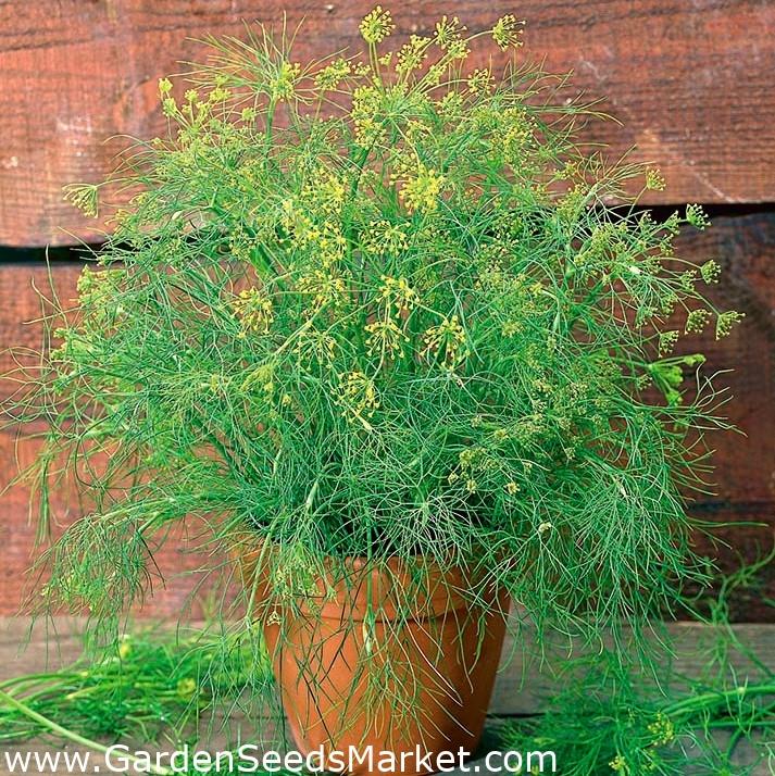 certified organic Garden Dill 2800 seeds BIO