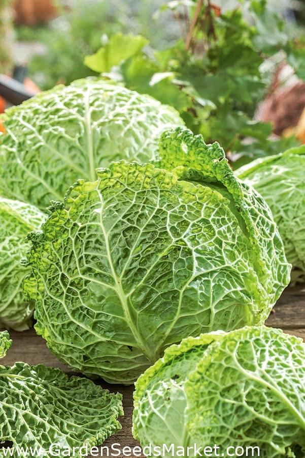 Savoy Cabbage /'/'Vertus 2/'/' ~75 Rare Crispy Winter Cabbage Top Quality Seeds