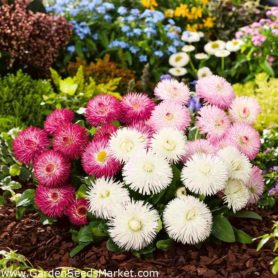 English Daisy Roggli White 600 seeds Bellis perennis