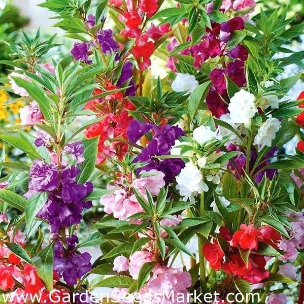 20 Purple Garden Balsam Seeds Impatiens Balsamina Garden Flowers