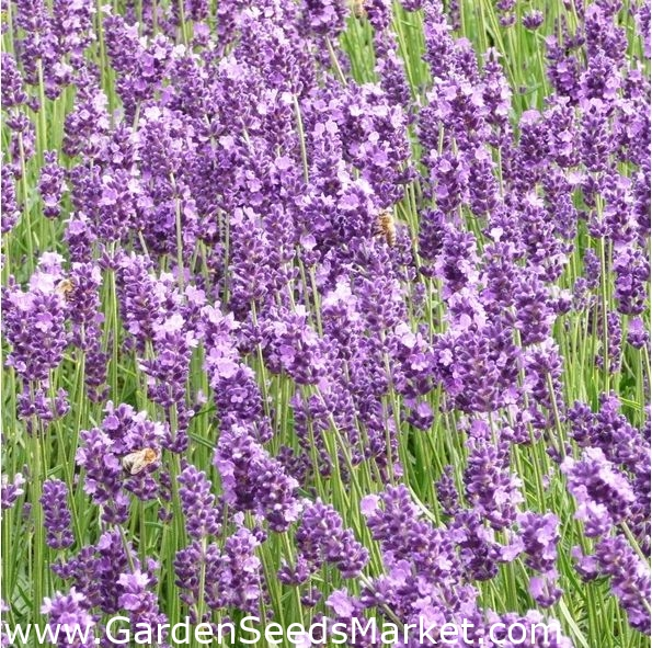 Lavender Vera Seeds Fresh Seed  250 Seeds  FREE Shipping Fresh Seed Herb Seed